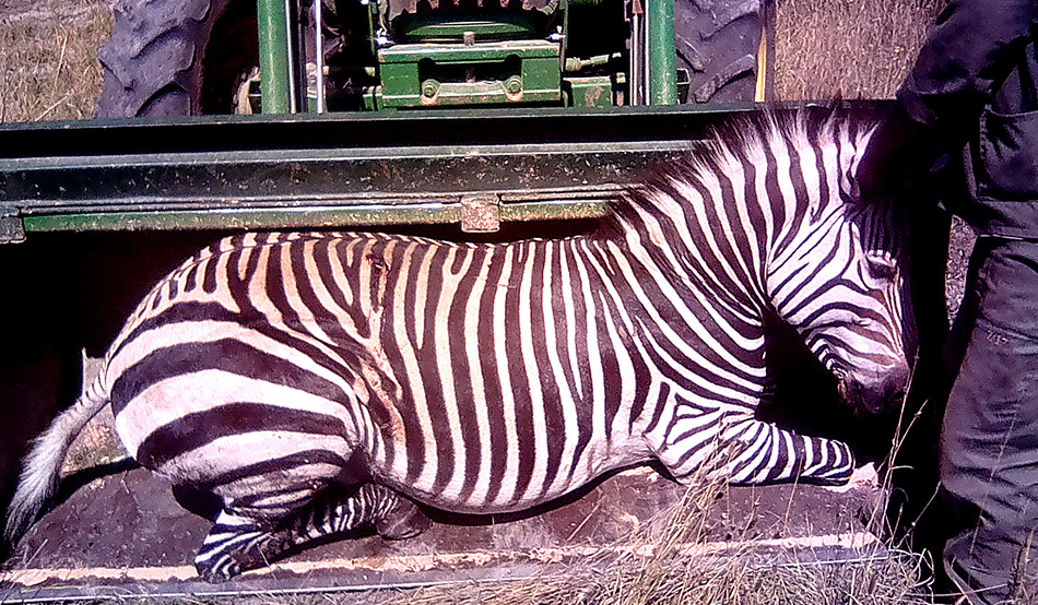 Gently placed in the shovel of the front-end loader, the anaesthetised mountain zebra is brought to the transport vehicle