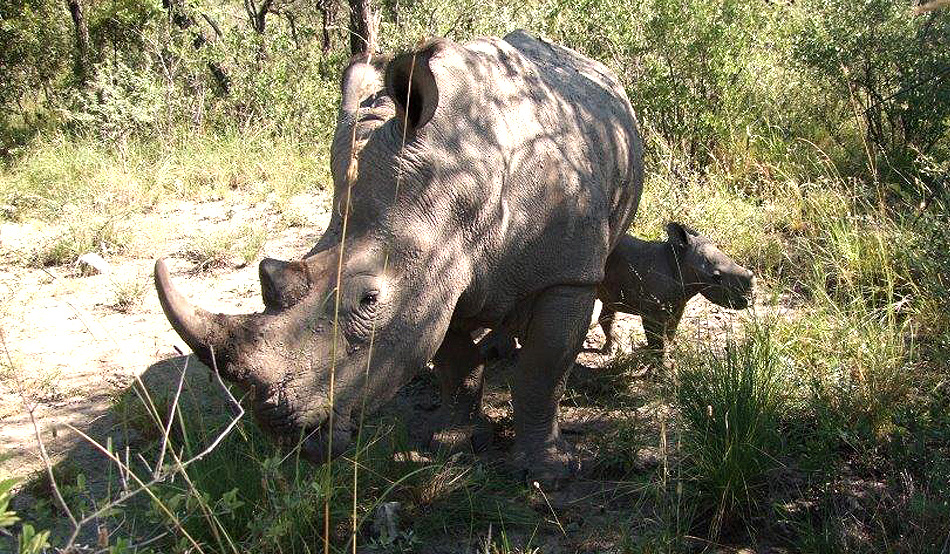 The second of the two rhino calves born in the Ghaub Nature Reserve in March and April