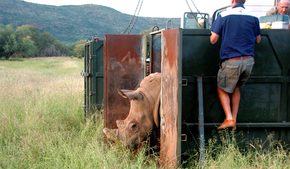 A white rhino cow carefully ventures outside the transport container and sniffs her new home ground