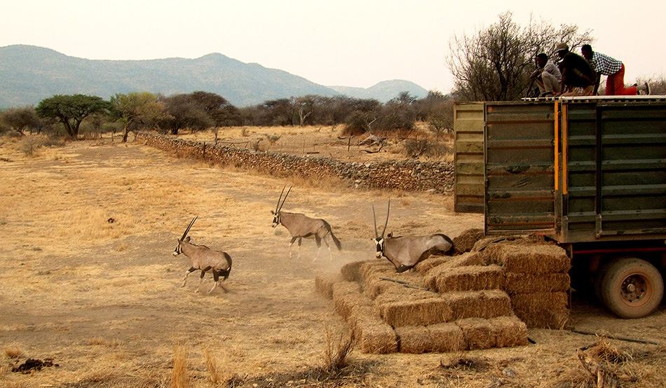Jump to freedom: 18 oryx are reintroduced at Ghaub mid October